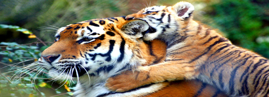 uttarakhand-to-have-two-new-tiger-reserves-soon.jpg